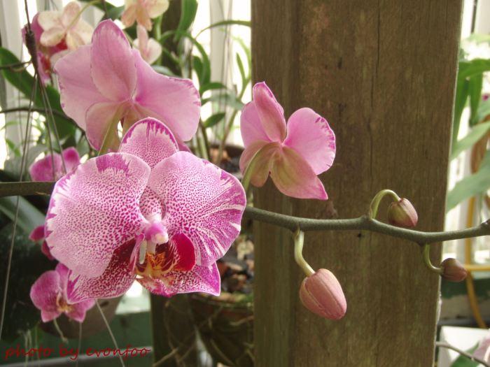 pink spotted phalaenopsis