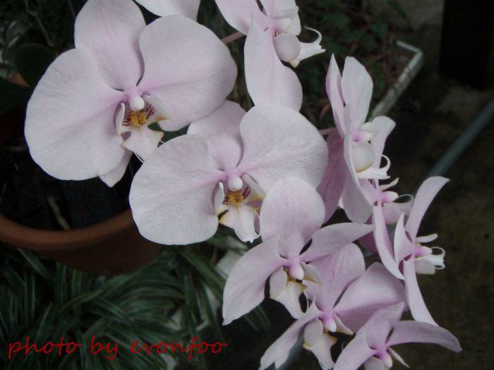 pale pink phalaenopsis