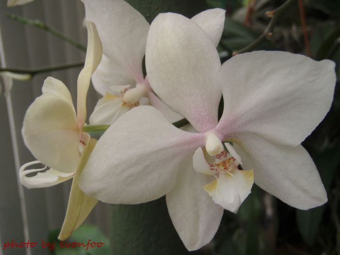 beige phalaenopsis