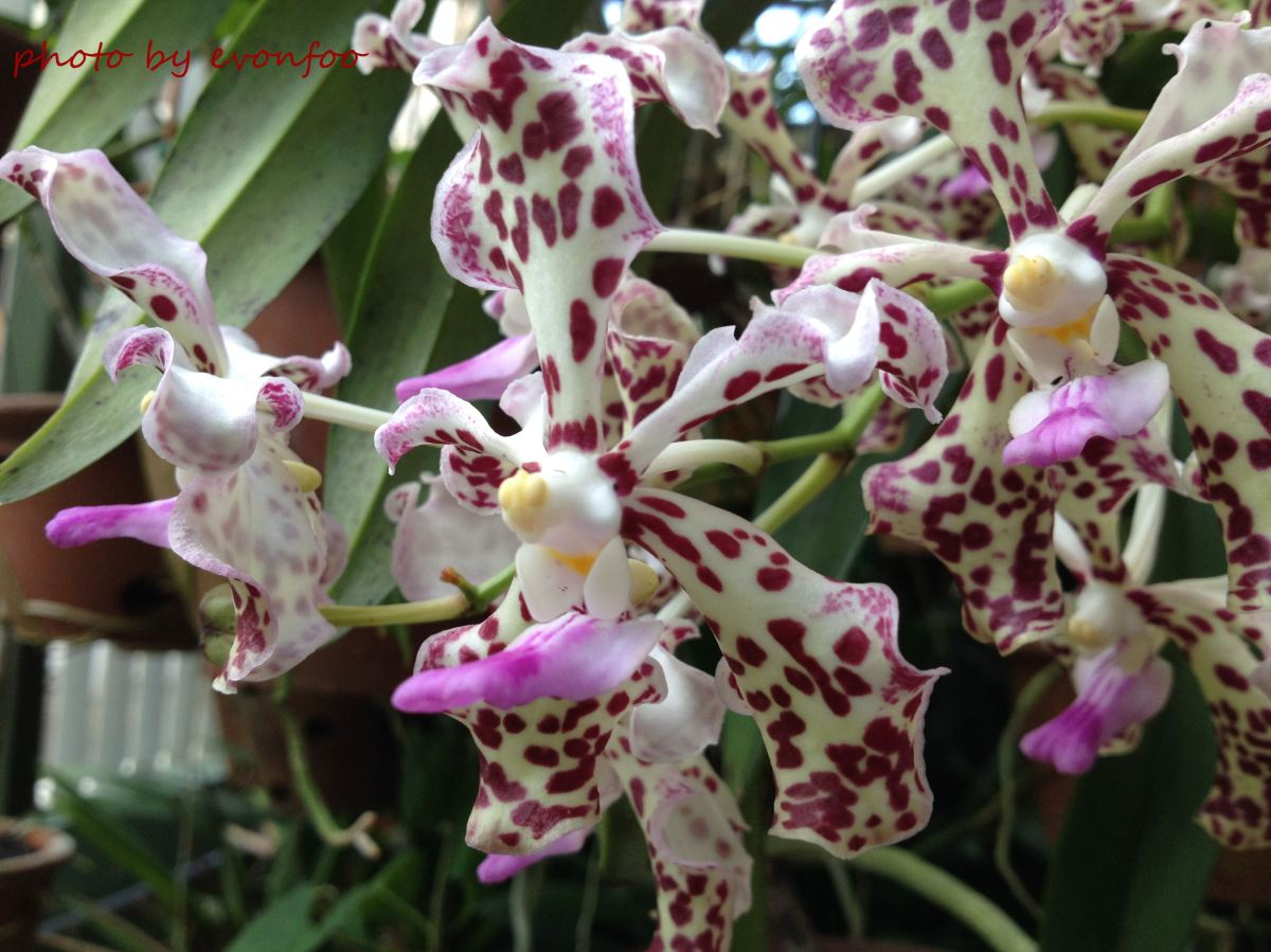 one of the four noble plants - orchids, 花中四君子之一 - 蘭
