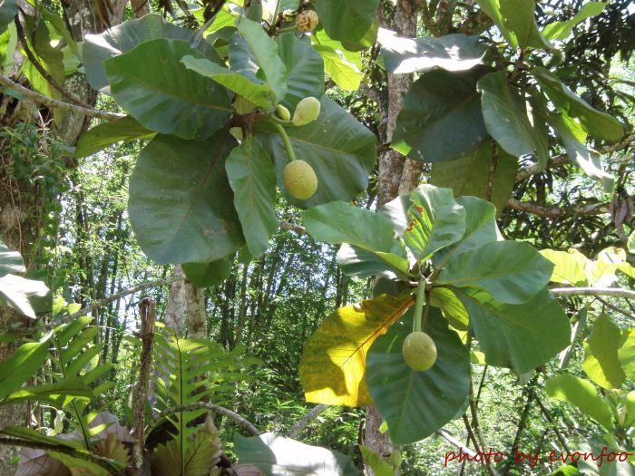 artocarpus odoratissimus, tarap