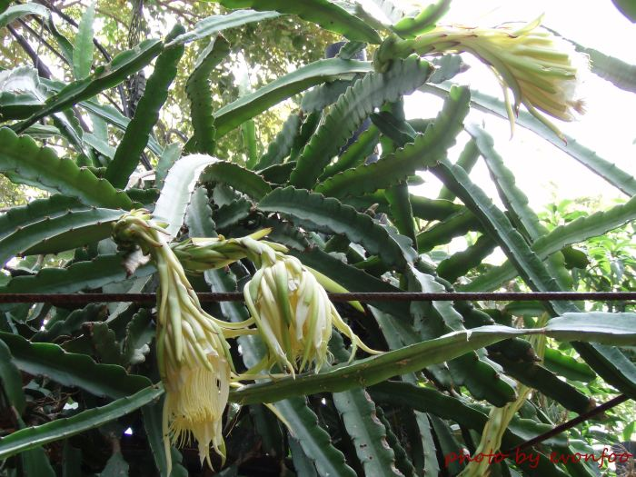 dragon fruit tree with flower