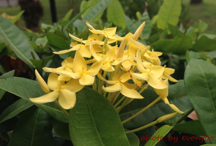 sweet yellow ixora
