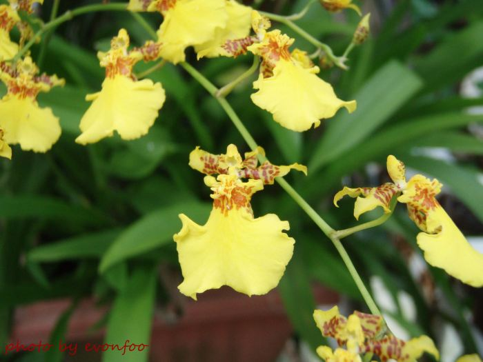 oncidium - the dancing ladies
