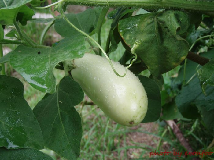 white aubergine