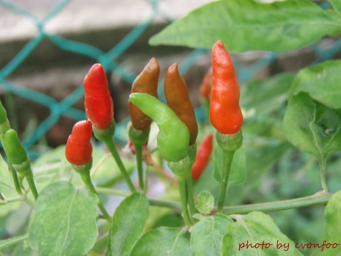 cili padi, bird's eye these chili are very common locally although they are small, they are pretty hot!
