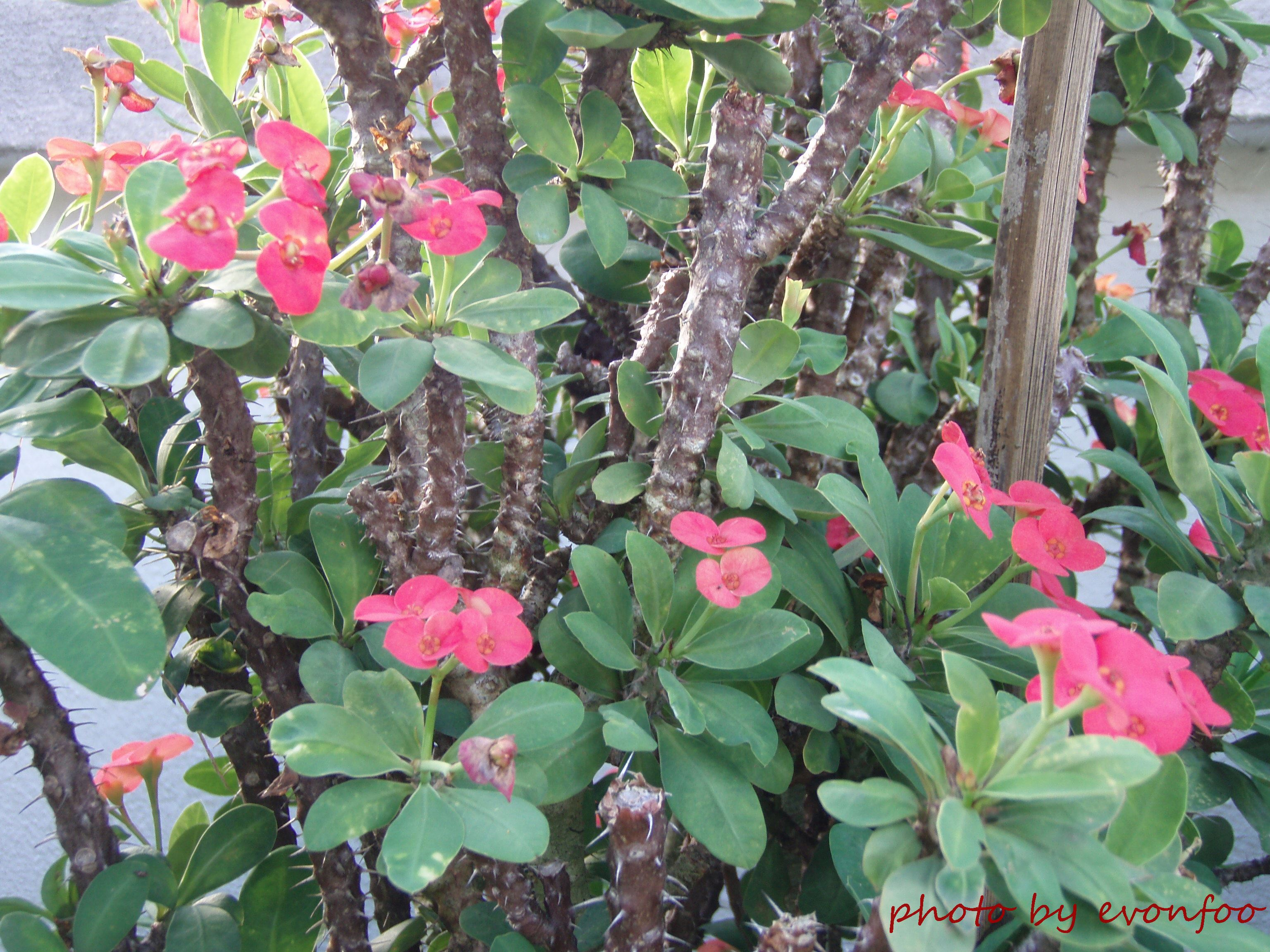 A flower named christ thorn colourful threads of life for Crown of thorns plant