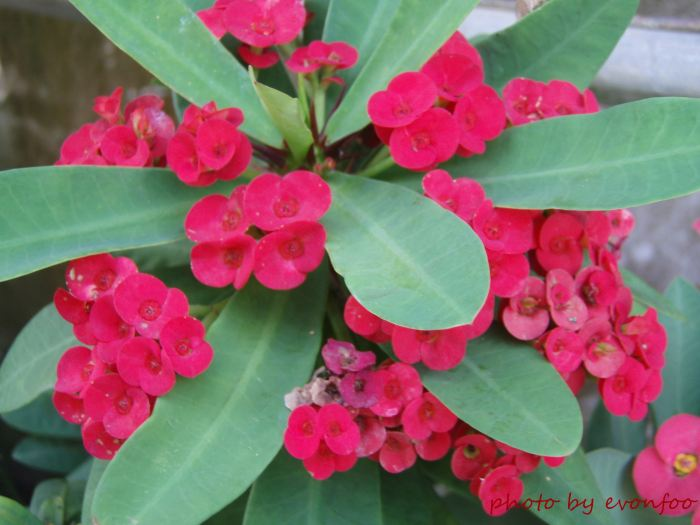 euphorbia milii, crown of thorns, christ plant, christ thorn