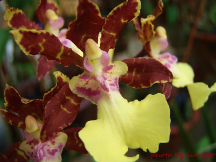 brown petal oncidium