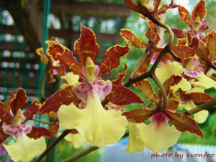 brown petal onicidum