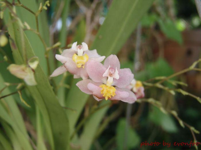 pink oncidium