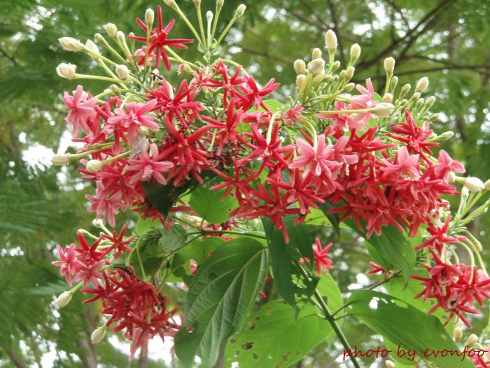 Combretum Indicum, Rangoon creeper or Chinese honeysuckle