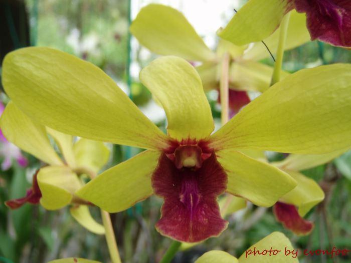 yellow dendrobium