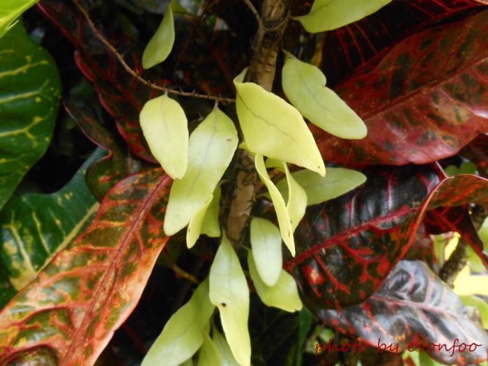 pyrrosia piloselloides, dragon's scale fern (5)