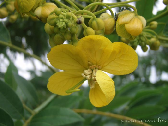 fistula golden shower tree