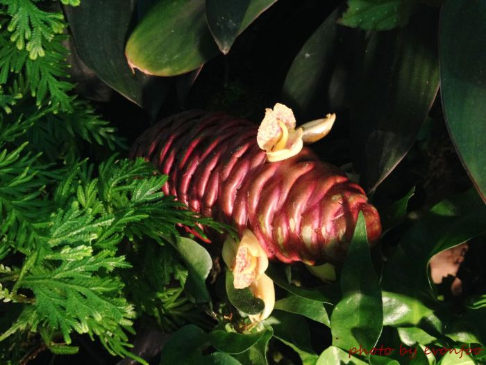 exotic looking beehive ginger