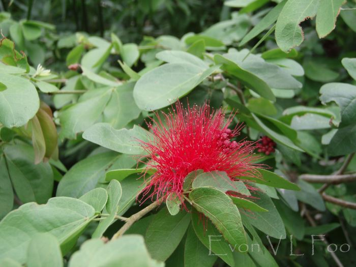 calliandra, powder puff tree
