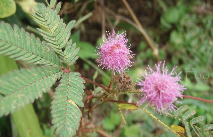 mimosa pudica, sensitive plant, touch-me-not, 含羞草