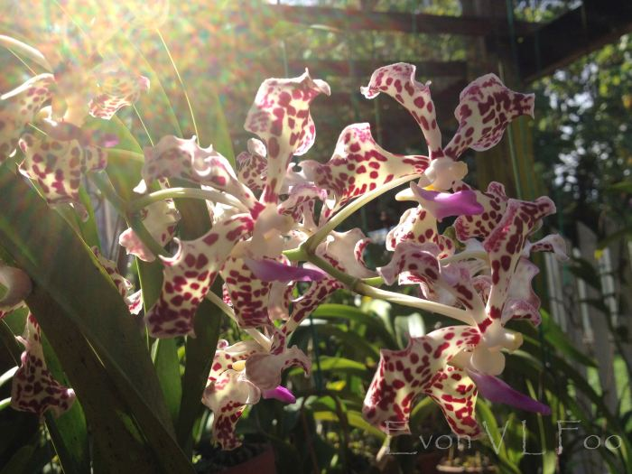 fragrant vanda tricolour suavis in morning sun