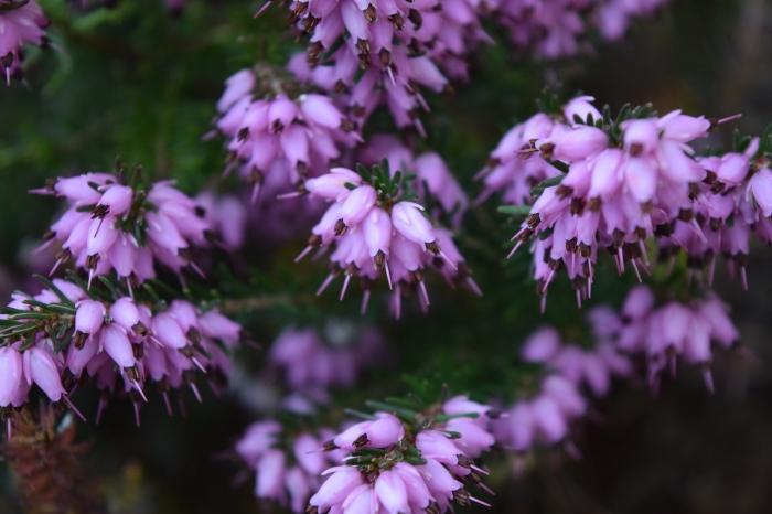 closer examination of purple heather