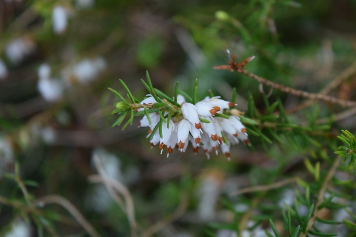 white heather