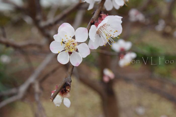 blossom - apricot