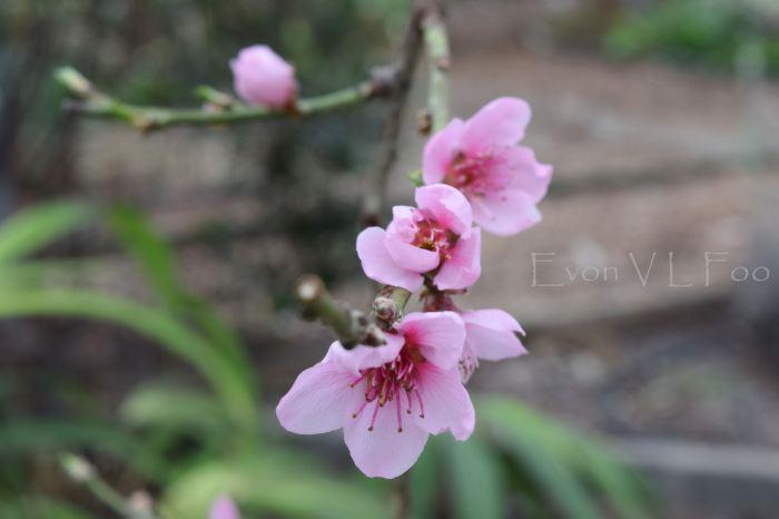 blossom - nectarine