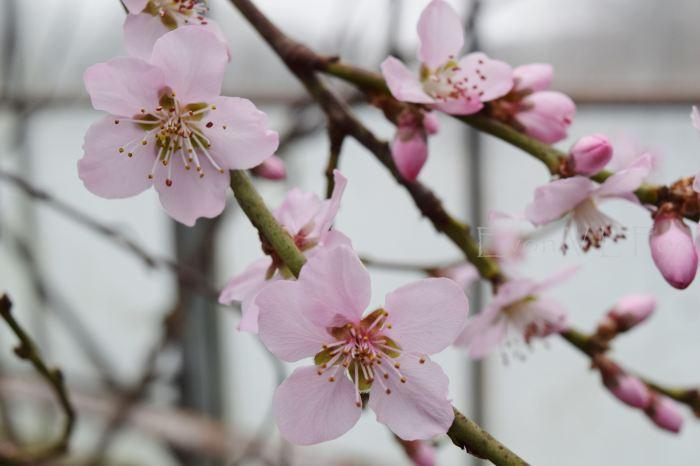 blossom - peach