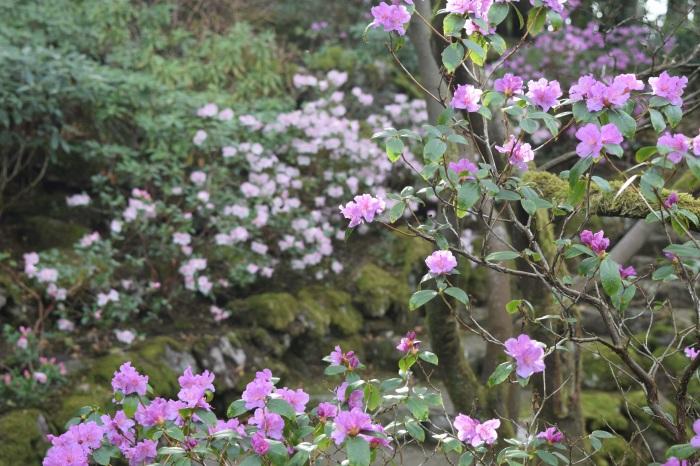 pleasing azaleas