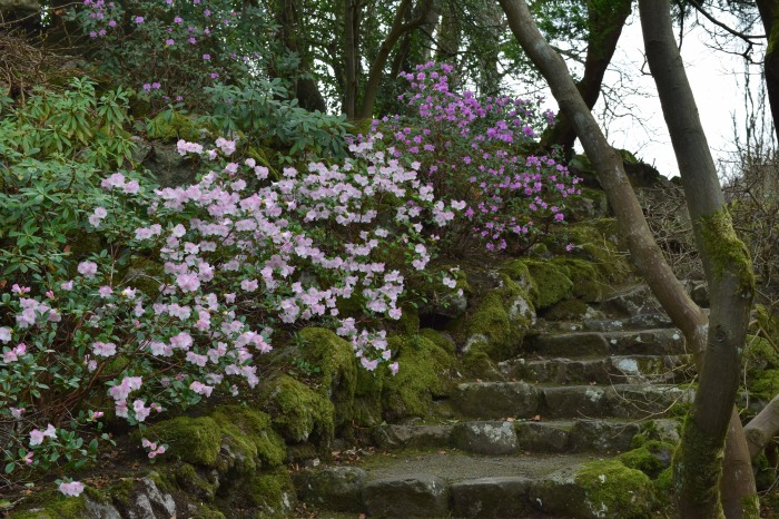 blooming azaleas along the pathway