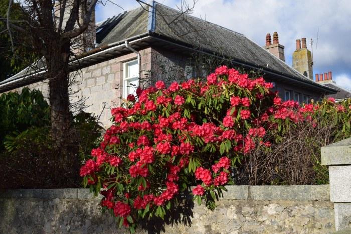 azalea in blooms