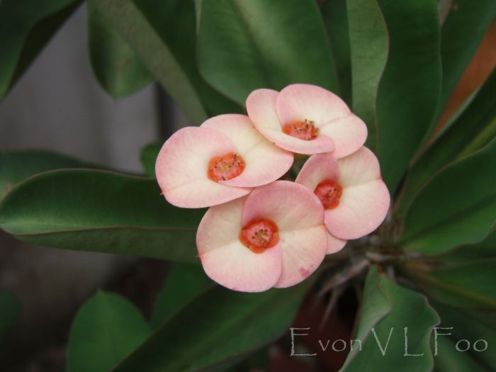 euphorbia milii crown of thorns christ thorn