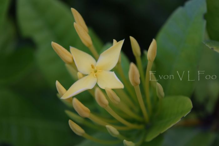ixora yellow