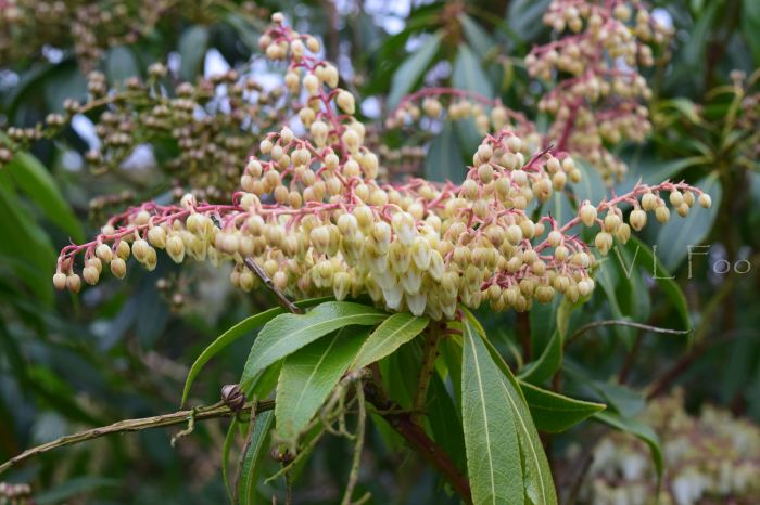 pieris japonica japanese andromedas (2)
