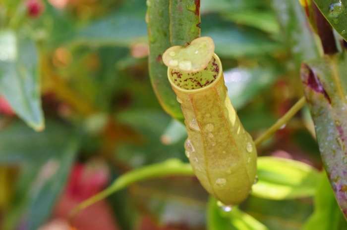 pitcher plant nepenthes (1)