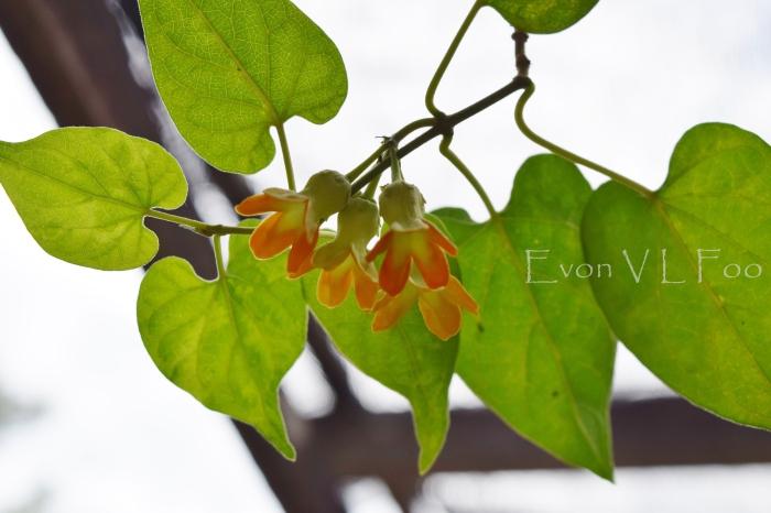 tonkin jasmine (11)