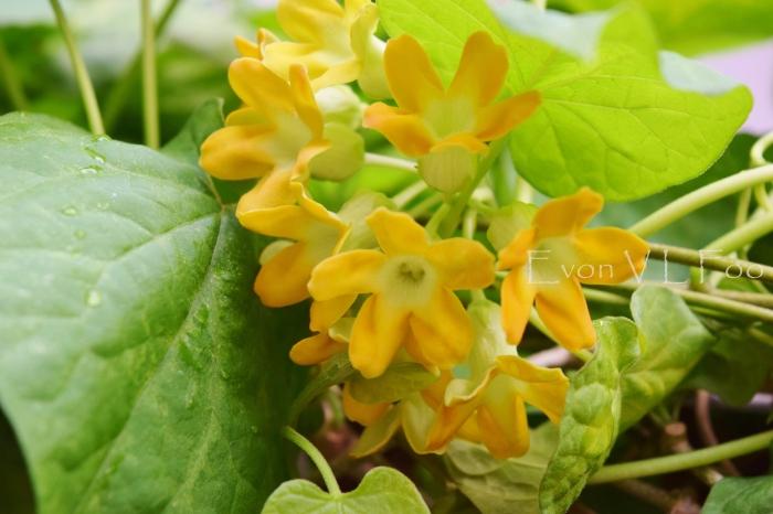 tonkin jasmine (15)