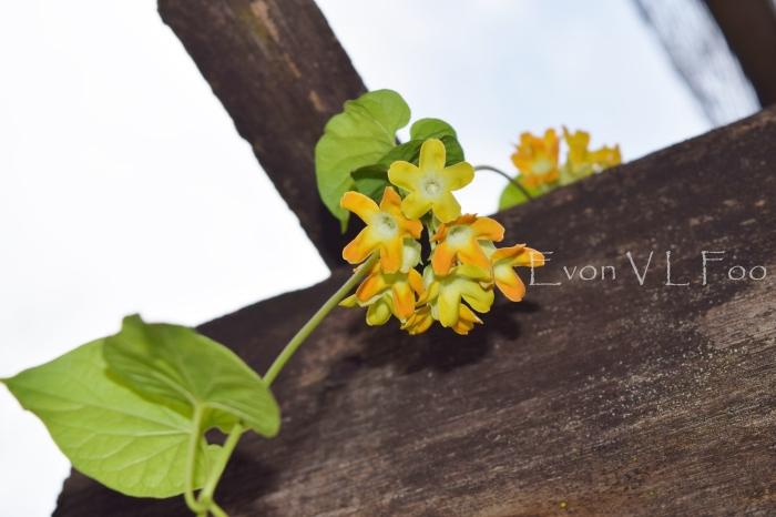 tonkin jasmine (3)