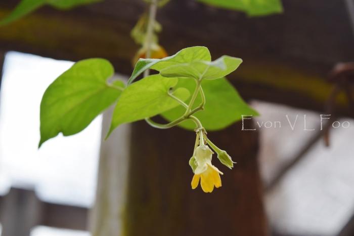 tonkin jasmine (5)