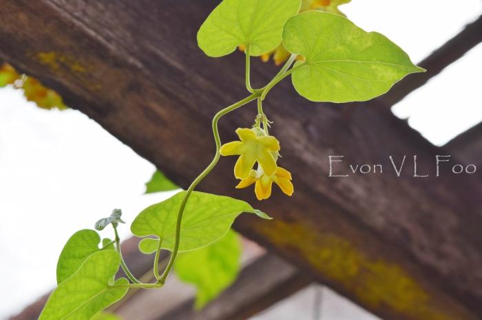 tonkin jasmine (6)