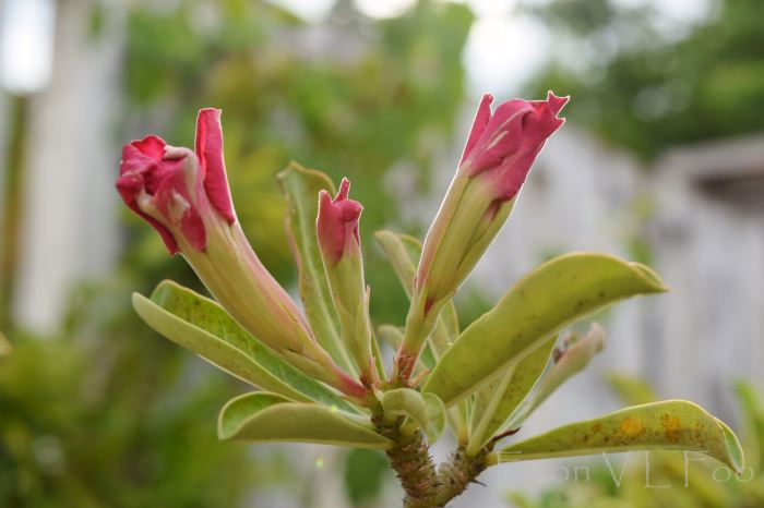 "desert rose - spectacularly ""water-coloured"""