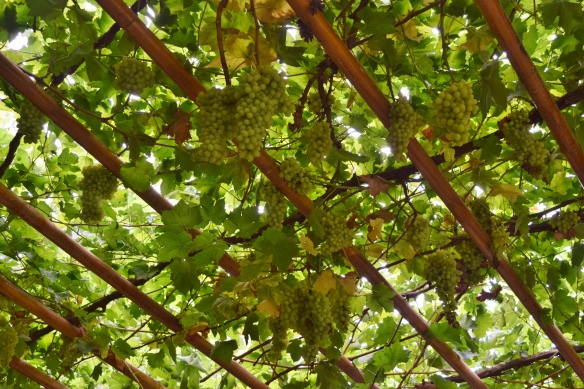 we were introduced to a few varieties of grapes....
