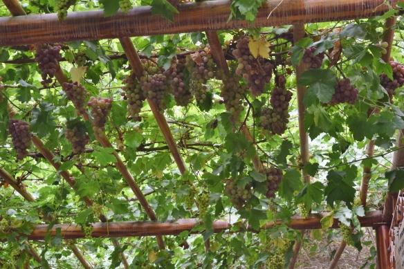 grape valley turpan xinjiang