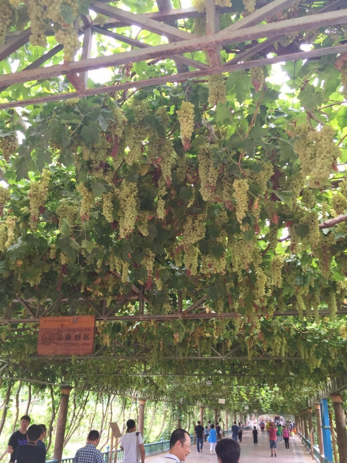 these grapes are just for show for tourists like us... :) (photo courtesy of May)