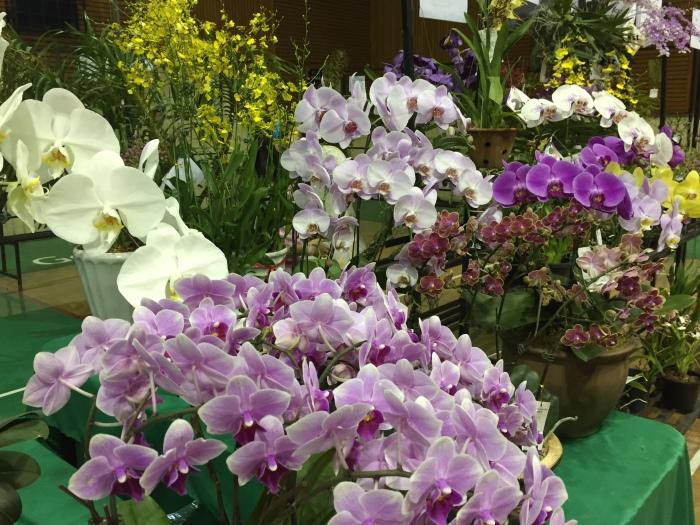 borneo orchid show 2015 (1)