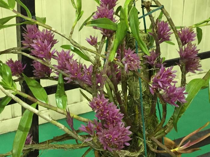 borneo orchid show 2015 (10)