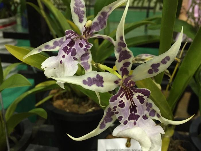 borneo orchid show 2015 (12)