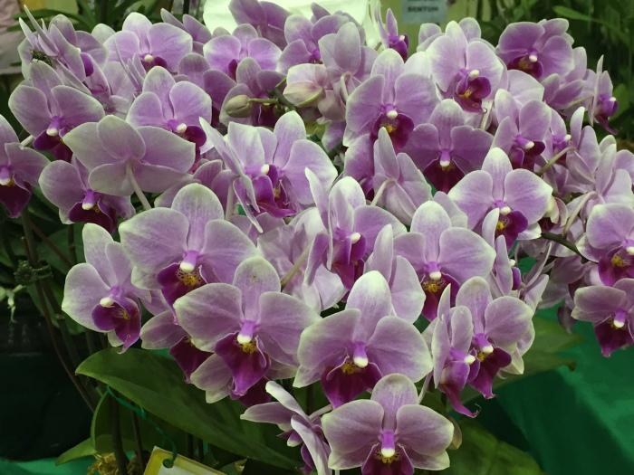 borneo orchid show 2015 (2)
