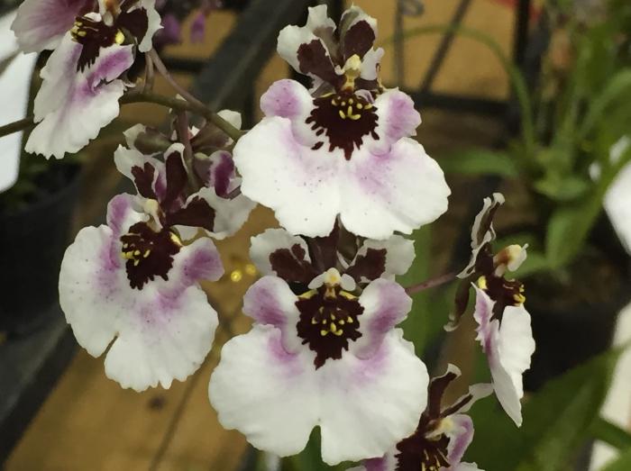 borneo orchid show 2015 (3)