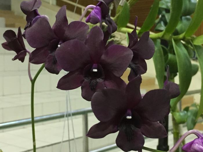 borneo orchid show 2015 (6)